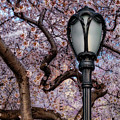 Cherry Blossoms At Central Park Nyc by Susan Candelario