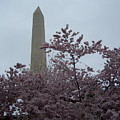 Cherry Blossoms At The Washington Monument by Tracy Dugas