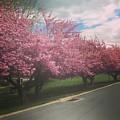 Cherry Blossoms by Bc Adamkowski