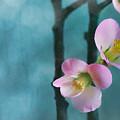 Cherry Blossom Bokeh by Jade Moon
