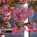 Cherry Blossoms by Cynthia Butler