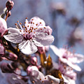 Cherry Blossoms by Denise Nehila