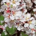 Cherry Blossoms by Doug Morgan