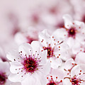 Cherry Blossoms by Elena Elisseeva