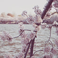 Cherry Blossoms by Emily Kay