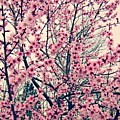Cherry Blossoms by Fern Cardinal