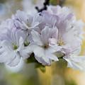 Cherry Blossoms by Frank Tschakert