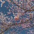 Cherry Blossoms In Bloom by C U Fotography