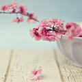 Cherry Blossoms In Bowl by Hayley Johnson Photography