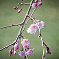 Cherry Blossoms In Early Spring by Karin Everhart
