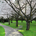 Cherry Blossoms In Stanley Park Vancouver by Pierre Leclerc Photography