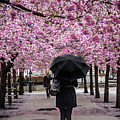Cherry Blossoms In The Rain by Robin Zygelman