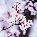 Cherry Blossoms by Parker Cunningham