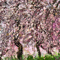 Cherry Blossoms by Ronald Bolokofsky