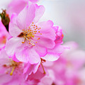 Cherry Blossoms Sweet Pink by Regina Geoghan