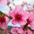 Cherry Blossoms by Tiffany Vest