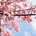 Cherry Blossoms Under Blue Sky by Neconote