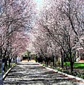 Cherry Blossoms by Will Borden