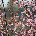 Cherry Blossoms With Sugarloaf Winona Minnesota by Kari Yearous