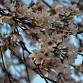 Cherry Blossom by Kamakshi Kumar