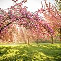 Cherry Flowers Garden Illuminated With Sunrise Beams by Antoine 2K