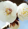 Apricot Flowers II by Joan Han