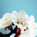 Apricot Flowers IIi by Joan Han