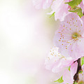 Cherry Flowers In Garden by Anastasy Yarmolovich