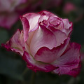 Cherry Parfait Rose by Emerald Studio Photography
