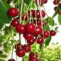 Cherry Time by Ausra Huntington nee Paulauskaite
