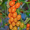 Cherry Tomatoes by Linda Unger