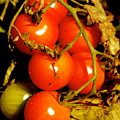 Cherry Tomatoes by Sonja Anderson