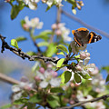 Monarch Butterfly On Cherry Tree by Tatiana Travelways