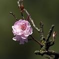 Cherry Tree Bloosom by Alexander Rozinov