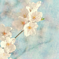 Cherry Tree Blossom by Delphimages Photo Creations