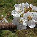 Cherry Tree Blossom White Flower by Irina Sztukowski