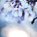 Cherry Tree Blossoms In Morning Sunlight by Oleksiy Maksymenko