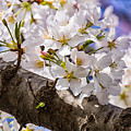 Cherry Tree by Carol Ward