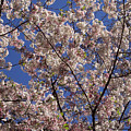 Cherry Tree In Bloom by Laura Martin