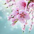 Cherry Tree Twig On Blue by Anastasy Yarmolovich