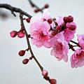 Cherry White by Nicholas Blackwell