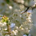 Cherryblossom In Focus by Marc Daly