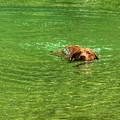 Chesapeake Bay Retriever Swimming by John Myers