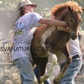 Chestnut At Auction by Captain Debbie Ritter