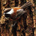 Chestnut-backed Chickadee On Tree Trunk by Sharon Talson