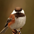 Chestnut-backed Chickadee  by Sharon Talson