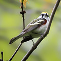 Chestnut Sided Warbler 2 by Bill Wakeley