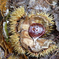 Chestnut by Valerie Ornstein
