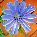 Chic Chic Chicory by Sue Melvin