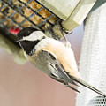 Chicadee At Suet by Victoria Dauphinee